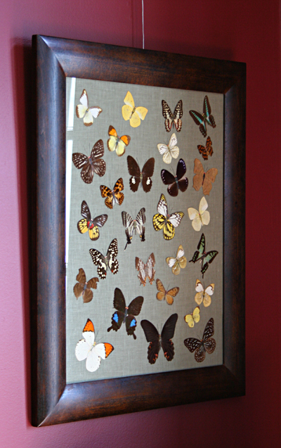 "Sometimes objects are the result of research and a bit of creativity; FDR writes to Sara in November 1900 ""The butterflies are most ornamental."" So where to find a Victorian butterfly collection? Ebay. I bought a loose collection of antique Formosan butterflies; then carefully mounted and framed them. They now hang over FDR's desk."